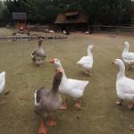 kačky na biofarme príroda v stupave